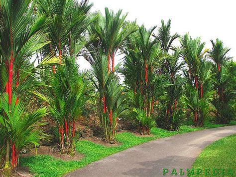 greenhouse flooring ideas cyrtostachys renda palmpedia palm grower 39 s guide