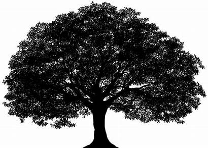 Oak Tree Silhouette Drawing Clip Transparent Graphics