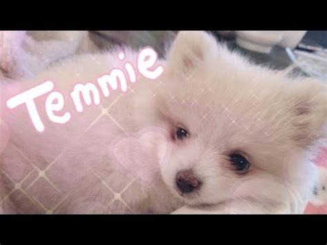 temmie  pomeranian puppy youtube