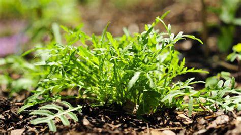 Rucola Pflanzen Im Eigenen Garten