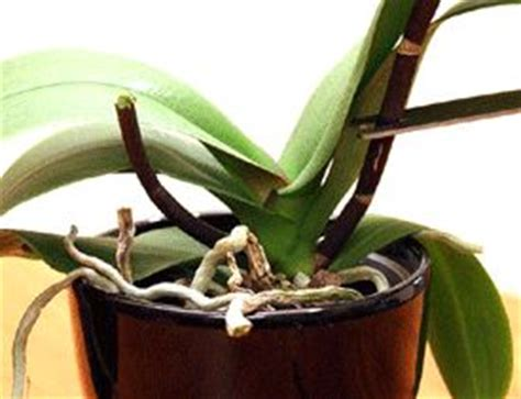 what to do after orchid blooms what to do after orchid flowers fall orchids and their care pinte