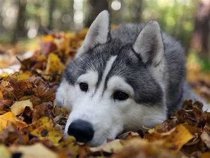Husky Siberian Cool Puppies Wallpapers Backgrounds Huskies