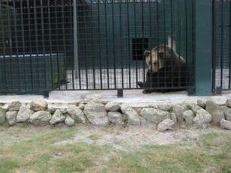 animal zoo enclosures animals carnivorous too seen tregembo park pacing bears wilmington tripadvisor