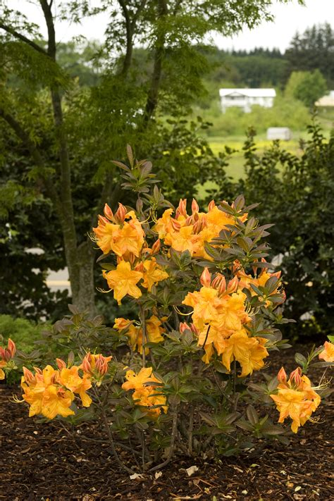 Golden Lights Azalea by Golden Lights Azalea Monrovia Golden Lights Azalea