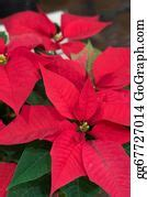 drawing poinsettia frame clipart drawing gg