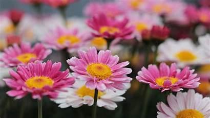 Pink Daisy Flowers 1080p Downaload Fhd Meadow