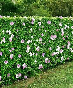 Hibiskus Stämmchen Kaufen : straucheibisch hecke gem kaufen xyz pinterest hibiskus hecke gartenhecke ~ Buech-reservation.com Haus und Dekorationen