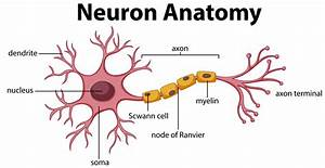 Somso Neuron Diagram Of