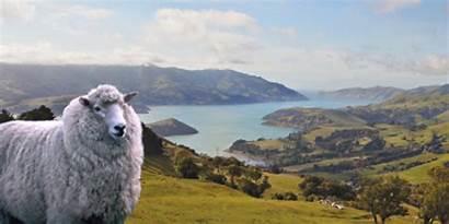 Nz Zealand Wool Sheep Taupo Artist Landscapes