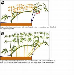 Guide To Topping  Training  U0026 Pruning Marijuana Plants