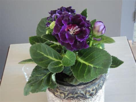 plante d int 233 rieur 224 fleurs mauves gloxinia