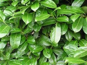 Kirschlorbeer Ohne Beeren : kirschpflaumenbaum pflanzen f r nassen boden ~ Yasmunasinghe.com Haus und Dekorationen