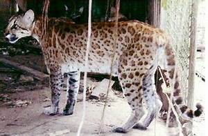 This is supposedly a puma-ocelot hybrid. I'm not sure if ...