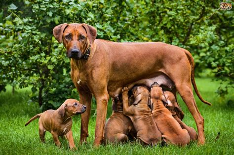 Recognising Canine Mastitis And How To Resolve It Pets4homes