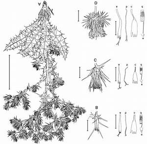 Morphological Intermediacy Of The Hybrid Between Cousinia