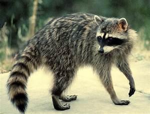 M Kids | Your Kids Learning Hub: Raccoon - Animal