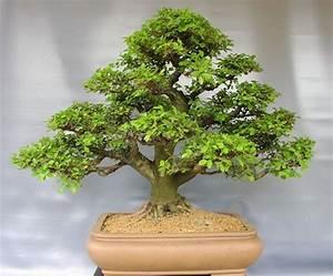 Bonsai Chinesische Ulme : bonsai chinesische ulme ~ Frokenaadalensverden.com Haus und Dekorationen