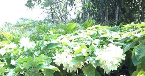 jual pohon nusa indah tanaman hias tukang taman