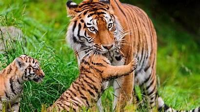 Tiger Tigre Mamalia Animalia Dan Kingdom Fauna