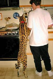 African Serval/ Savannah Cat - BabyCenter