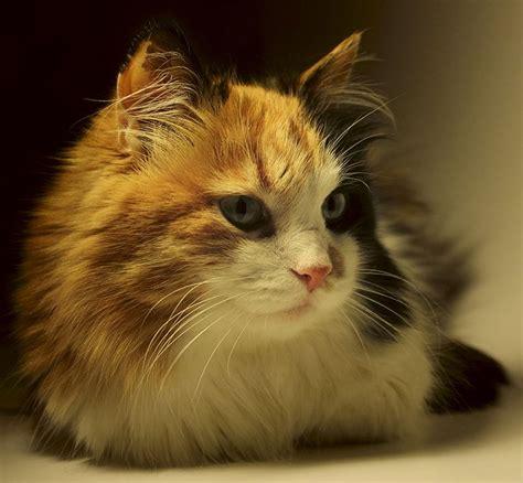 cat names for calicos the 25 best calico cat names ideas on pinterest tortoiseshell cat tortoiseshell cat names