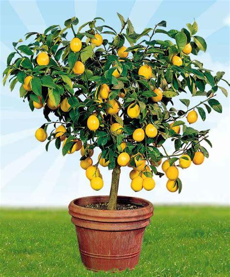arroser un citronnier en pot achetez maintenant une plante en pot citronnier bakker