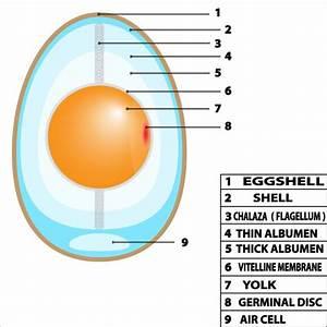 Bird Egg Structure  U2014 Stock Vector  U00a9 Edesignua  61444193