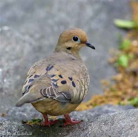 mourning dove ornithological pinterest
