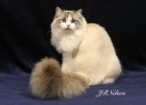 ragamuffin cat acfa ragamuffin cat breeder cfa ragamuffin kittens for