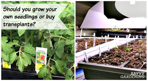 Grow From Seeds Or Buy Transplants