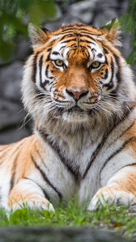 wallpaper siberian tiger female zoo big cat hd