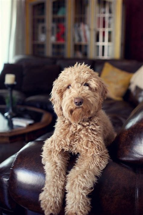 dogs that dont shed labradoodle large breeds that don t shed 3 breeds picture