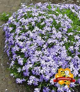 Bodendecker Blaue Blüten : blauer teppich phlox polsterstauden bei baldur garten ~ Frokenaadalensverden.com Haus und Dekorationen