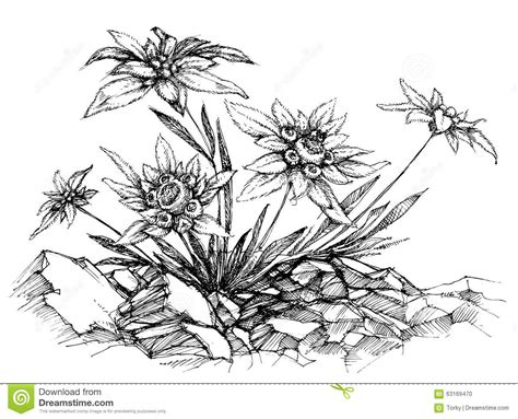 edelweiss cartoons illustrations vector stock images