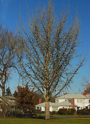 ginkgo maidenhair tree oregon state univ landscape plants