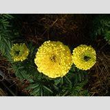 Marigold Flower Wallpaper | 1600 x 1200 jpeg 218kB
