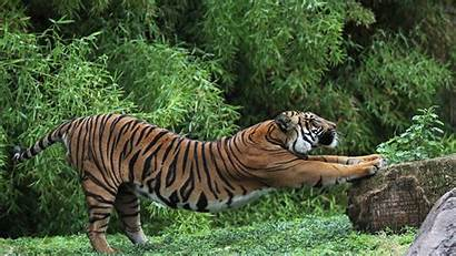 Salvajes Animales Pantalla Fondos Tigres Wallpapers