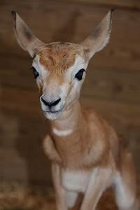 endangered gazelle fawn elvira finds zooborns