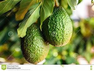 Arbre A Fruit : fruit vert d 39 avocat sur l 39 arbre image stock image du collecte culture 79766839 ~ Melissatoandfro.com Idées de Décoration