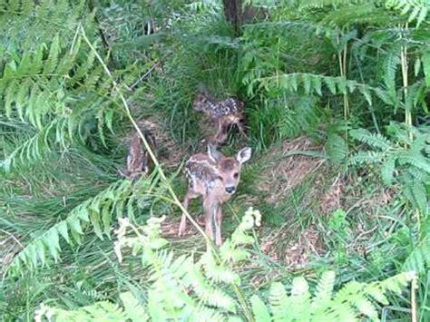 Corcinos Corcino Corzo Ciervo Roe Deer Bambi Hunting Caza