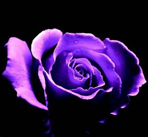 Purple Rose by Akina117 on DeviantArt
