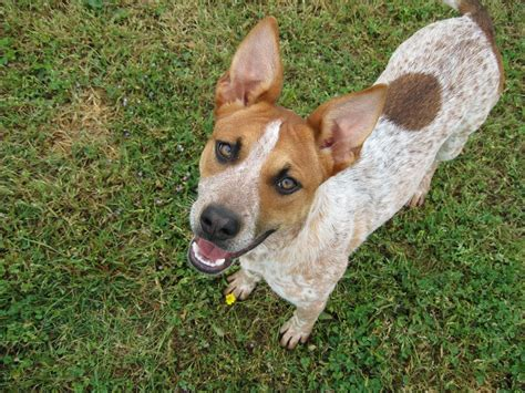 blue heeler mix shedding heeler personality pictures to pin on