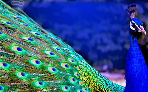 wallpaper peacock  wallpapersafari