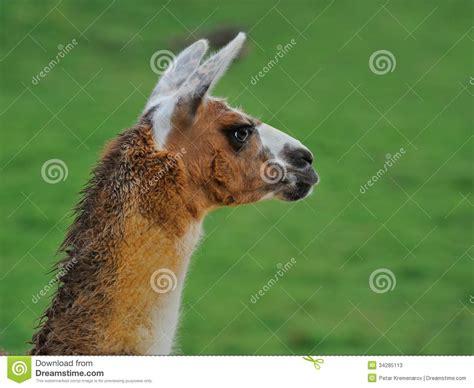 Wonderful Llama Photo by Portrait Of A Llama Stock Image Image Of Breed Farming