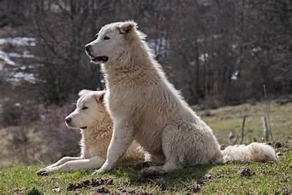 Maremma Sheepdog Breeds Dog Dogs Livestock Guard