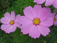 Lavender Color Flowers