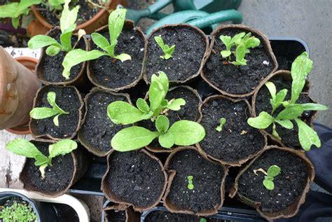 growing delphiniums in pots slug not helped by strulch garden withoutdoors