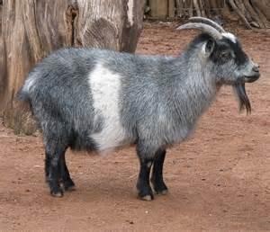 Image result for Nigerian Goat image