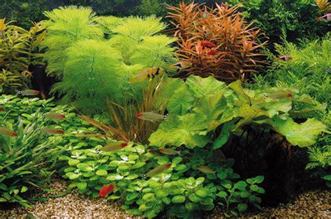 Cabomba aquatica - welkom bij aquarium- planten