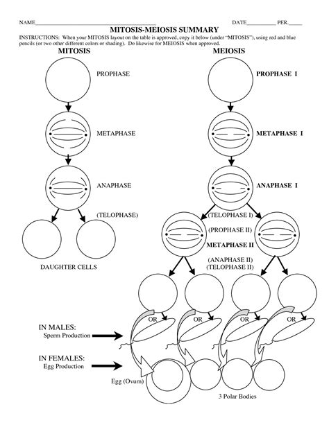 15 Best Images Of Phases Of Meiosis Worksheet  Meiosis Stages Worksheet, Meiosis Stages